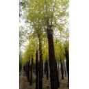 济南玉明柳树基地——金叶榆