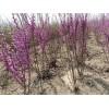 紫叶李 红枫 紫荆 紫薇 榆叶梅