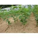 苗木供应樱花1-8公分