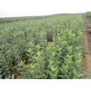 苗木供应海棠1-8公分