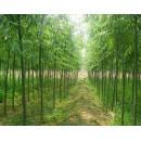 苗木供应柳树1-12公分