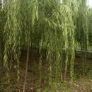苗木供应柳树当年苗