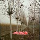 苗木供应原冠法桐1-25公分