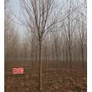 苗木供应速生白蜡1-15公分