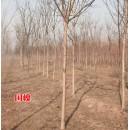 苗木供应速生国槐1-10公分