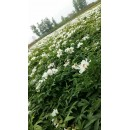 苗木供应——白牡丹、油用牡丹种苗1-3年生