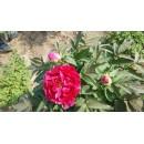 苗木供应——红牡丹、菏泽油用牡丹、2-5年生观赏牡丹