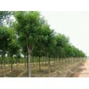 苗木供应白蜡——郑氏园林苗木有限公司