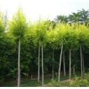 苗木供应金叶榆——河北省保定市大地苗木总场