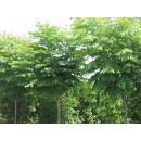 苗木供应火焗树——河北省保定市大地苗木总场