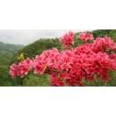 苗木供应杜鹃映山红