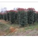 苗木供应柱形红叶石楠
