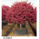 苗木供应红花继木