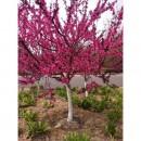铜川樱花批发基地、铜川樱花出售处理、山东泰安天华园林