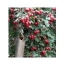 供应杏树、山楂树、柿子树、核桃树、梨树、苹果树、枣树
