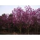 苗木供应精品紫玉兰