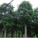 苗木供应精品朴树