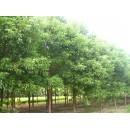 苗木供应精品樟树