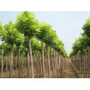苗木供应8~25厘米各种冠形白蜡、全冠两年冠白蜡