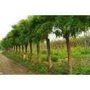 苗木供应8~25厘米各种冠形白蜡、栽植12~15厘米一级白蜡