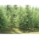 天津绿苑雅林苗木精品雪松、特供3~50公分雪松、优质天津雪松