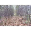 春辉园林苗木精品供应丛生五角枫、3~80公分优质五角枫小苗