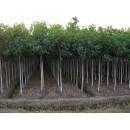 春辉园林苗木供应栾树、精品河南北栾、3~50公分优质北栾