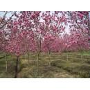 春辉园林苗木供应广玉兰、红黄白各种玉兰、3~50公分优质玉兰