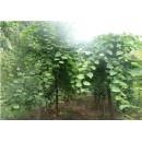河南春辉园林供应优质黄栌、精品黄栌成活树、黄栌花卉种子