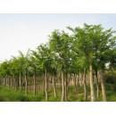 江苏草坪苗木精品供应江苏朴树、9~10公分优质朴树