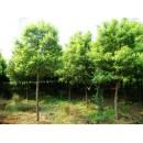 江苏草坪苗木精品供应江苏栾树、3~8公分优质栾树、栾树小苗