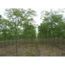 苗木精品供应12~15公分榉树、江苏优质榉树、江苏榉树小苗