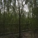 精品苗木供应江苏垂柳、1~20公分金丝垂柳、优质青皮垂柳
