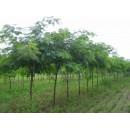 山东惠民苗木供应优质速生国槐、1-2年生国槐小苗、金叶国槐