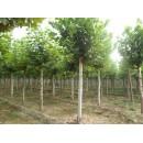 河南济源供应优质苗木速生法桐、1-15厘米河南法桐、造型法桐