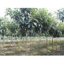 河南济源供应精品苗木枇杷、3-150公分优质河南枇杷