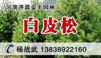 河南金丰园林供应精品白皮松、50-350厘米高杆优质白皮松