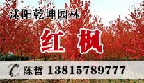 苗木供应红枫