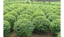 杭州萧山苗木供应大叶女贞、优质杭州精品大叶女贞