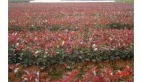 2016最新供应苗木精品红叶石楠、优质红叶石楠球