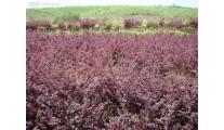常年供应红花、优质苗木精品杭州红花