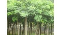 河南苗木精品供应合欢、优质10-80公分合欢