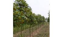常年供应苗木精品玉兰、优质河南广玉兰