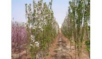 供应苗木精品西府海棠、优质杭州西府海棠
