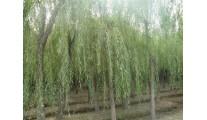 供应苗木精品垂柳、各种柳树、优质山东柳树