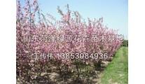 山东供应精品苗木海棠、西府海棠、北美海棠