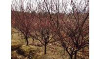 供应紫叶李、木槿、牡丹石榴、碧桃、紫薇、榆叶梅、美人梅