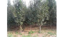 供应苗木精品海棠、西府海棠、北美海棠