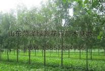 公司精品苗木海棠、法桐、垂柳、北栾等