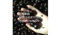 正宗巴西甜樱桃 基地直发 珍稀果树苗 量大价优